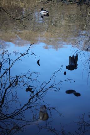 Ducks 1