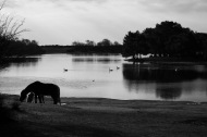 Ponies and swans