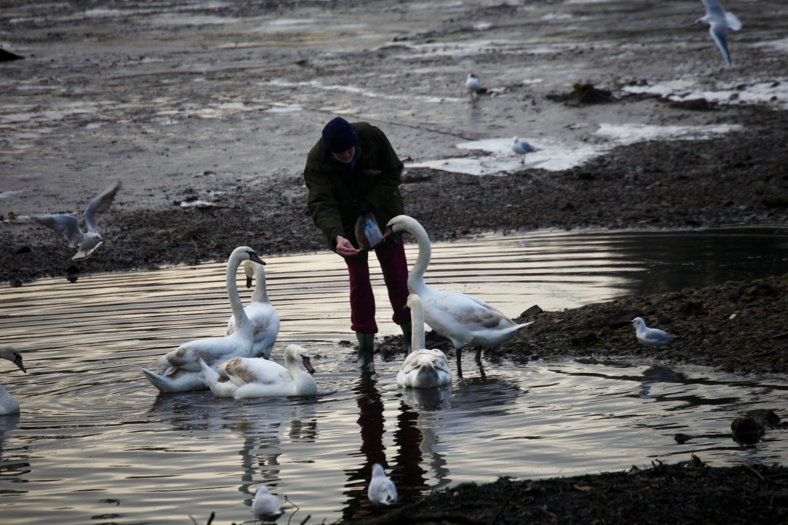 Man feeding swans 7