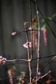 Viburnum Bodnantense 'Dawn' 2
