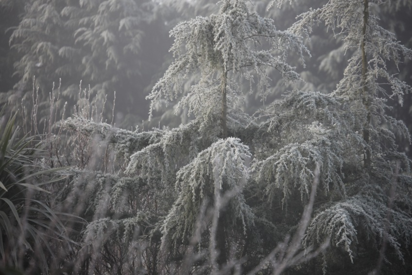 Frosted trees 1
