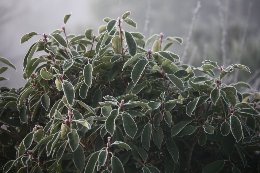 Frosted shrub 1