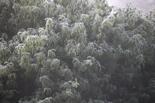 Frosted tree 1