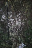 Frosted cow parsley 1