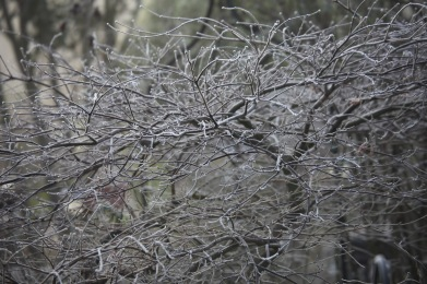 Frosted Japanese maple