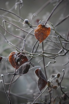 Frosted leaves 1