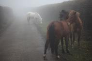 Ponies in fog 4