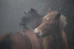 Ponies in fog 6