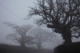 Trees in fog 4
