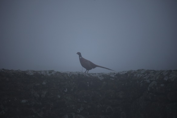 Pheasant in fog