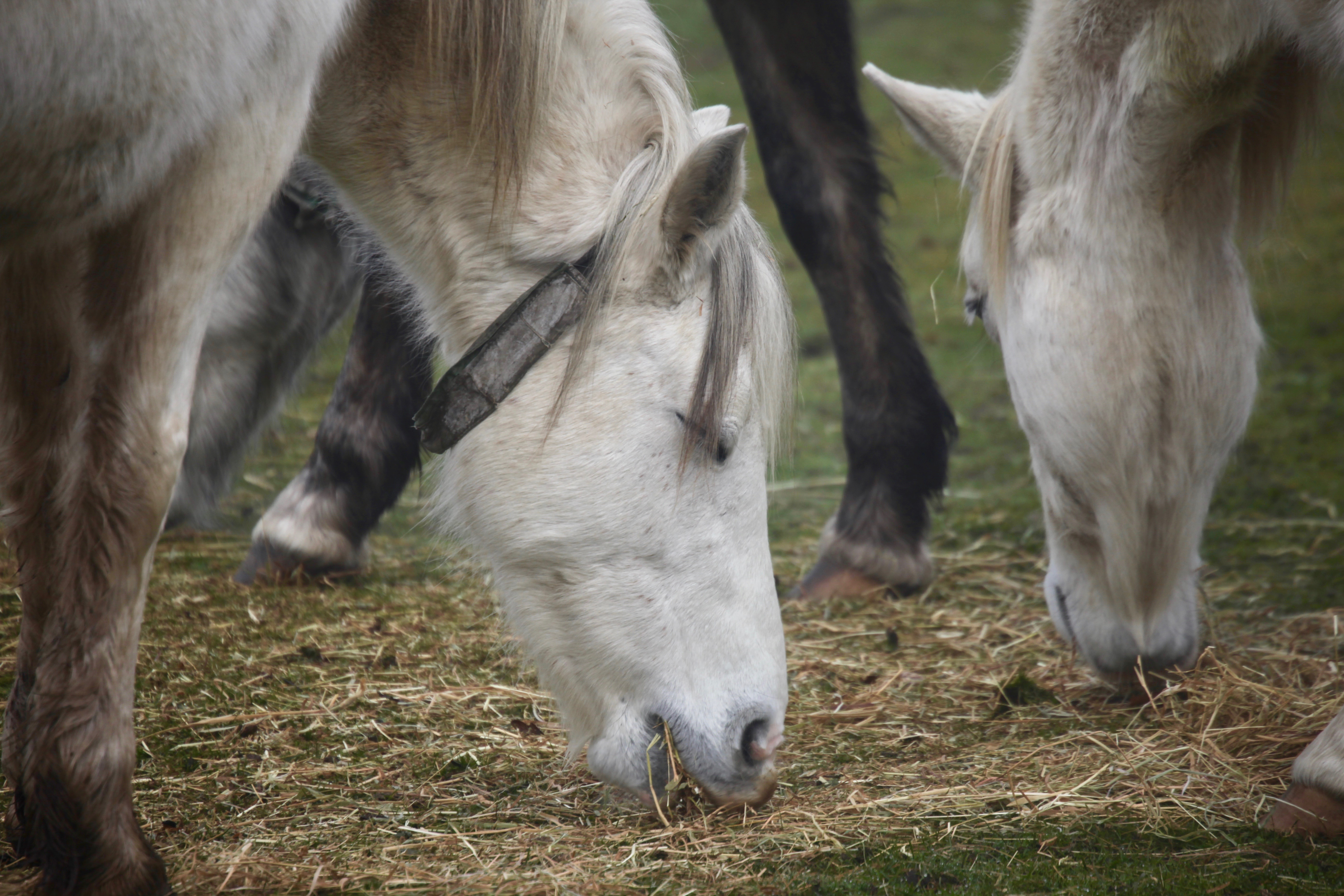 Three grey ponies 1