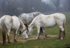 Three grey ponies 2