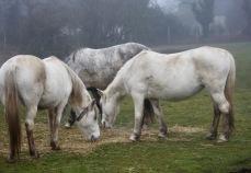 Three grey ponies 2