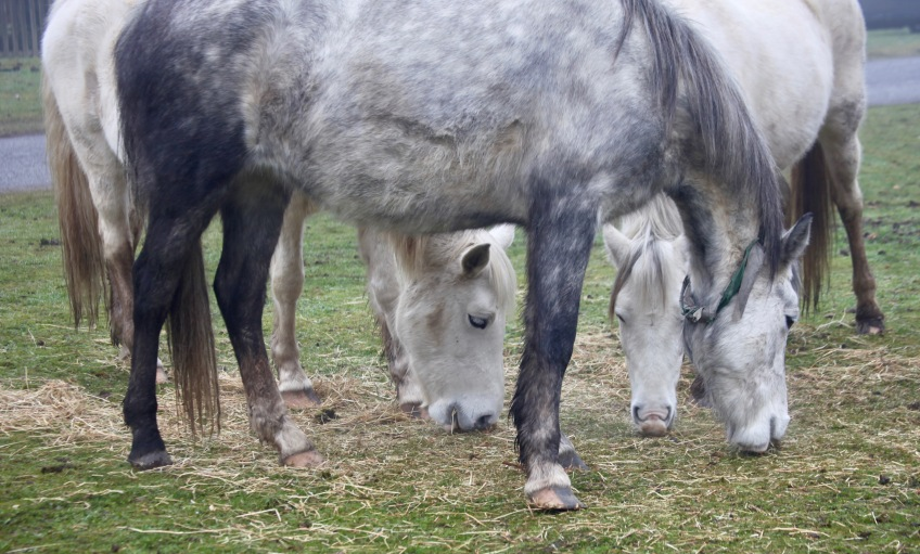 Three grey ponies 4