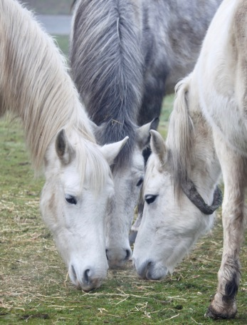 Three grey ponies 5