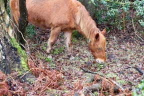 Pony eating holly 1