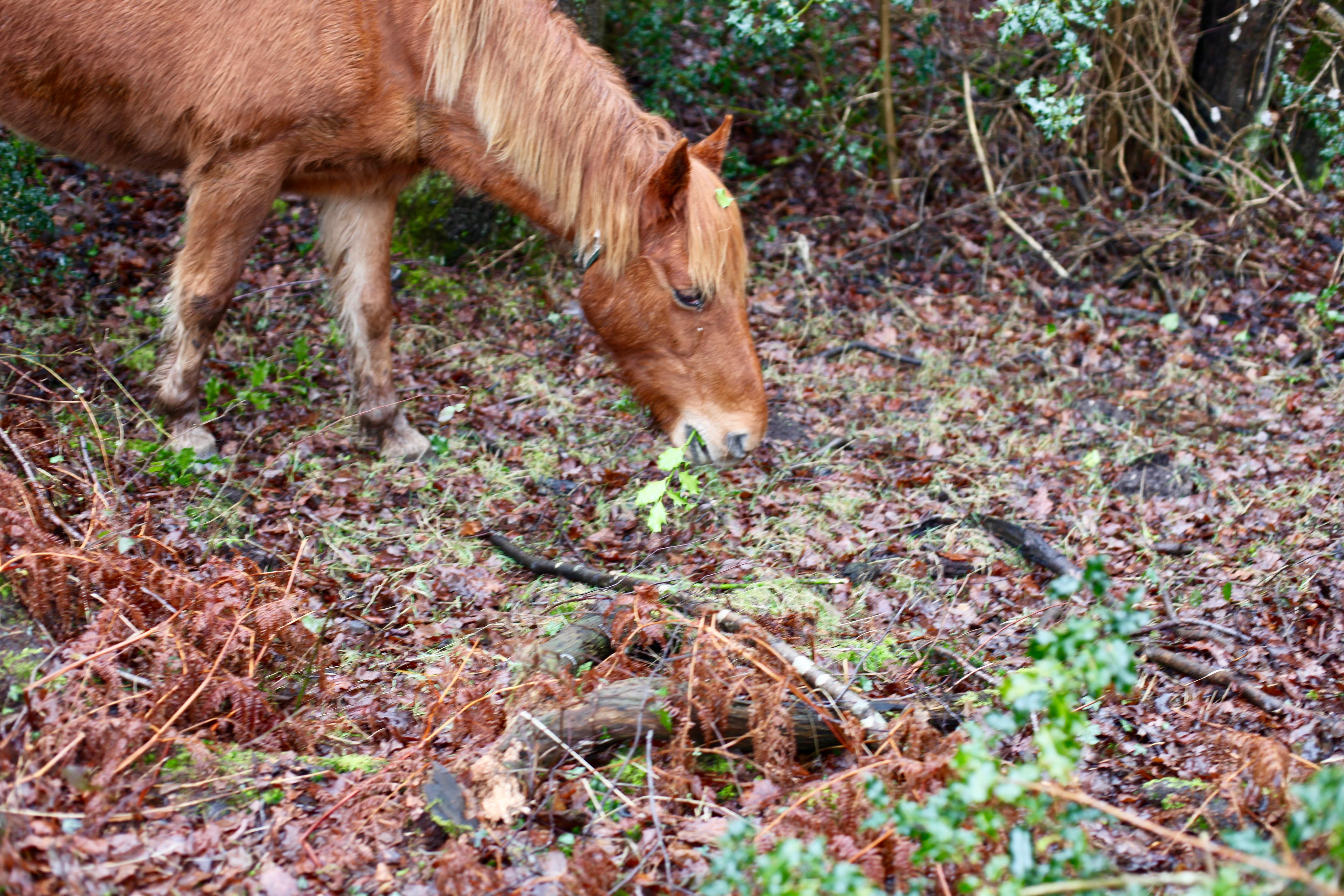 Pony eating holly 2
