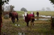 Horses in rugs 3