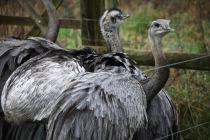 Emus 1