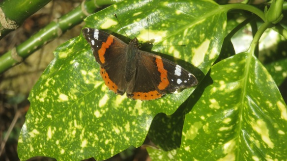 Red Admiral on laurel