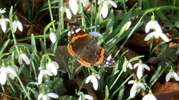 Red Admiral on snowdrops