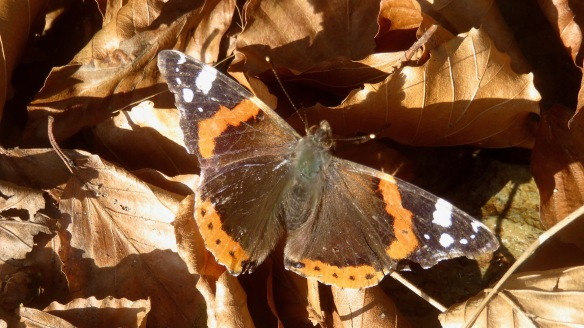 Red Admiral on autumn leaves