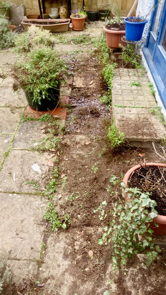 Erigeron thinning