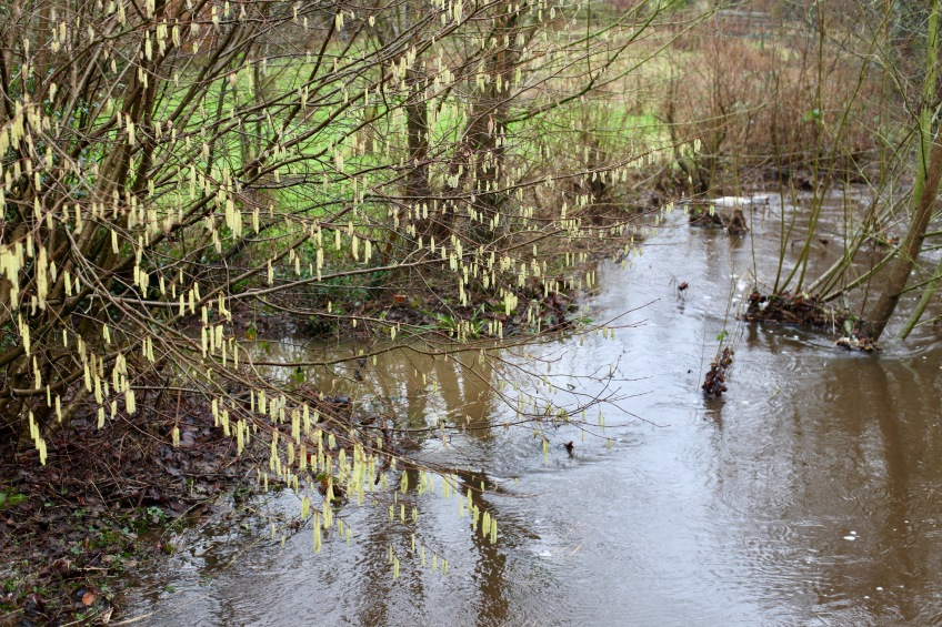 Catkins and Avon in spate