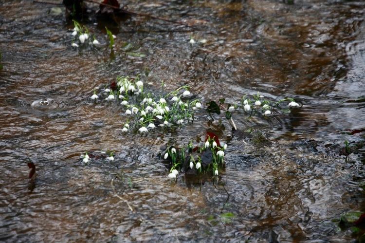 Snowdrops in river
