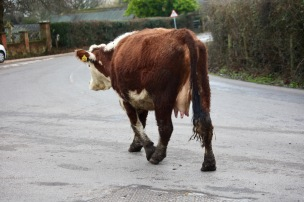 Cow on road 1