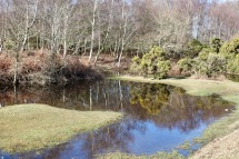 Trees and gorse reflected 1