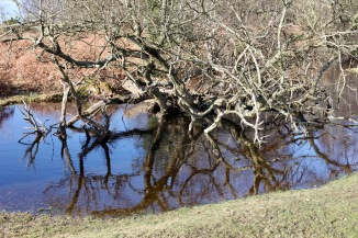 Trees reflected 3