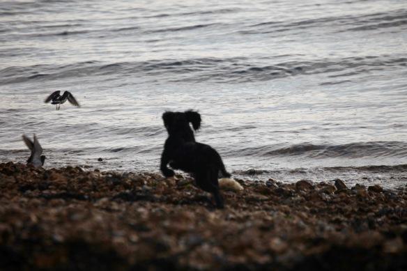 Dog chasing gulls