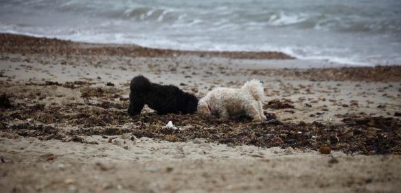 Dogs meeting on beach