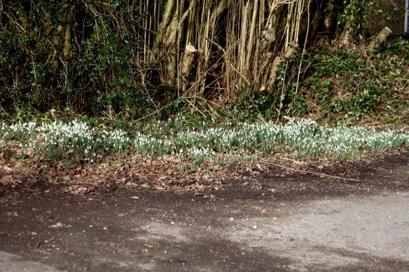 Snowdrops 1
