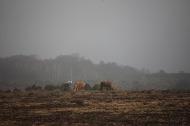 Ponies in misty landscape