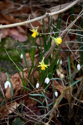 Snowdrops and tete-a-tete daffodils