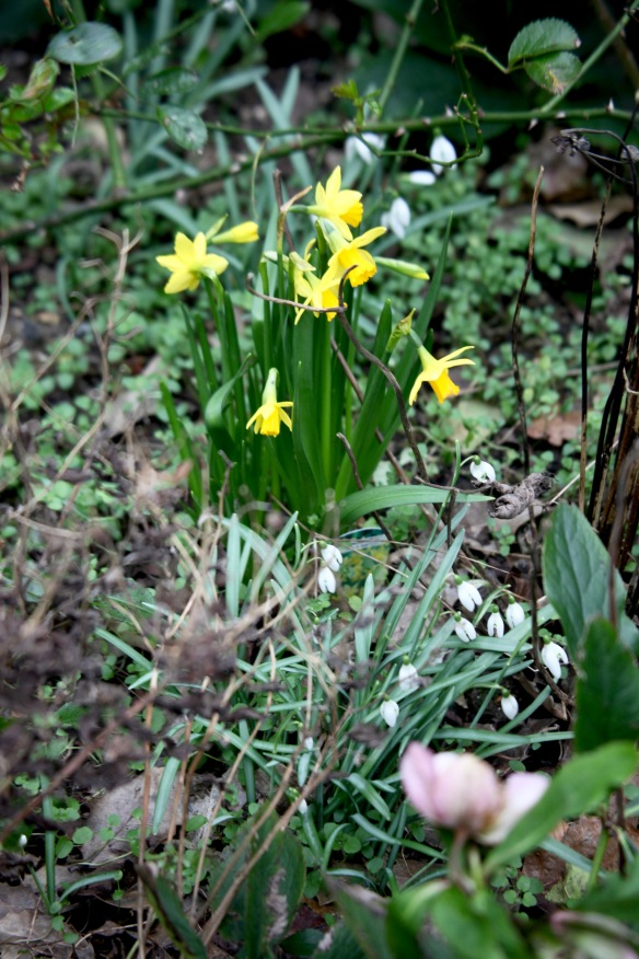 Tete-a-tetes, snowdrops, and hellebore