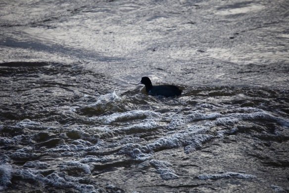Duck in outfall