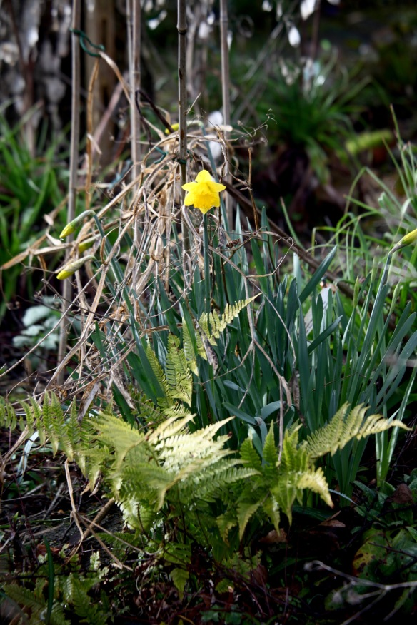 Daffodils and ferns