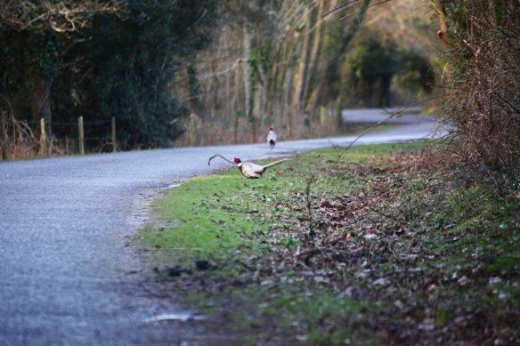 Pheasants 1