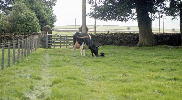 Cow with newborn calf 18.8.92 1