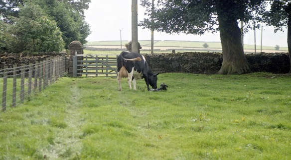 Cow with newborn calf 18.8.92 1