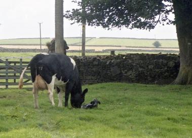Cow with newborn calf 18.8.92 2