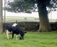 Cow with newborn calf 18.8.92 3