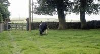Cow with newborn calf 18.8.92 4
