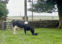 Cow with newborn calf 18.8.92 5