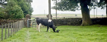 Cow with newborn calf 18.8.92 6