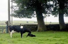 Cow with newborn calf 18.8.92 7