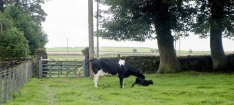 Cow with newborn calf 18.8.92 8